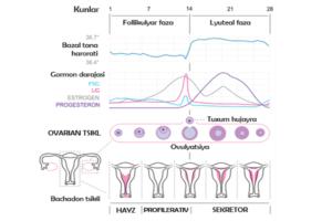 Hayz kelishi yoxud menstruatsiya